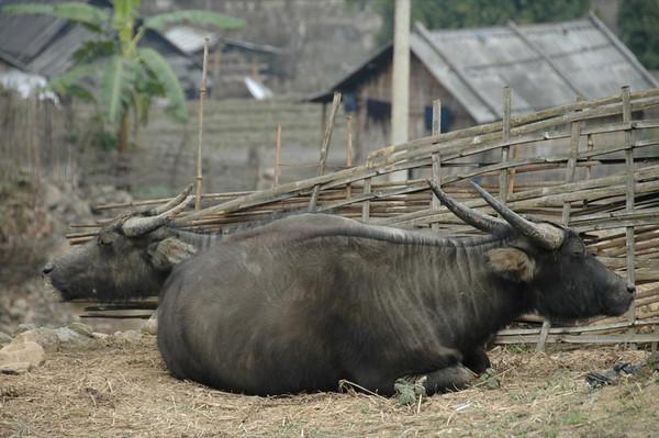Water Buffaloes - Sapa, Vietnam
