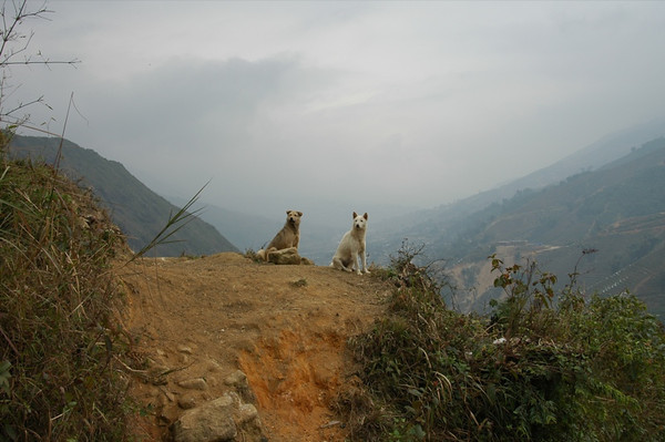 Dogs on the Mountain - Sapa, Vietnam