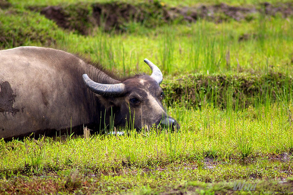 A water buffalo at work