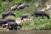 Water Buffalo, Perfume River, Hue, Vietnam.