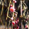 First Spring Blossoms, Nagiso