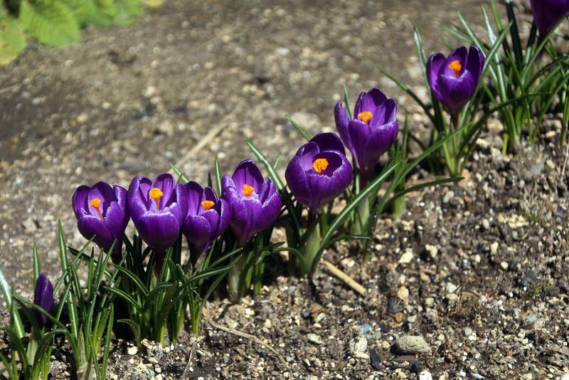 Spring Crocus Flowers Along the Kiso Road