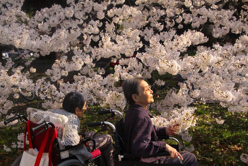 Seniors among the Cherry Blossoms, Nagoya Castle