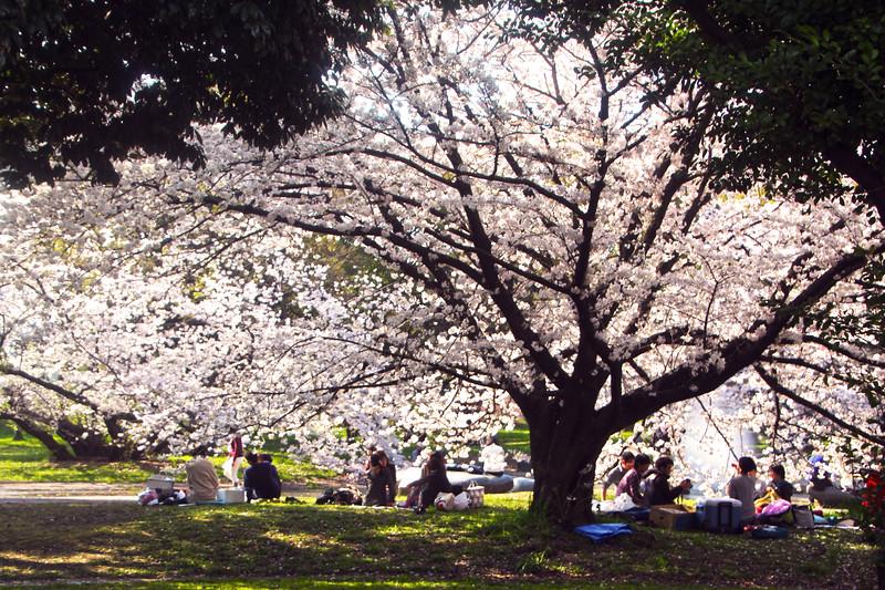 Japan, Nagoya Palace, Picnickers under Cherry Blossoms