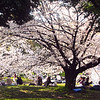 Japan, Nagoya Palace, Picnickers under Cherry Blossoms