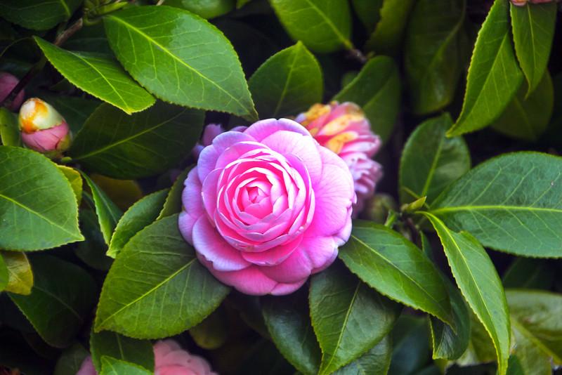 Camellia Blossom, Nagoya Palace