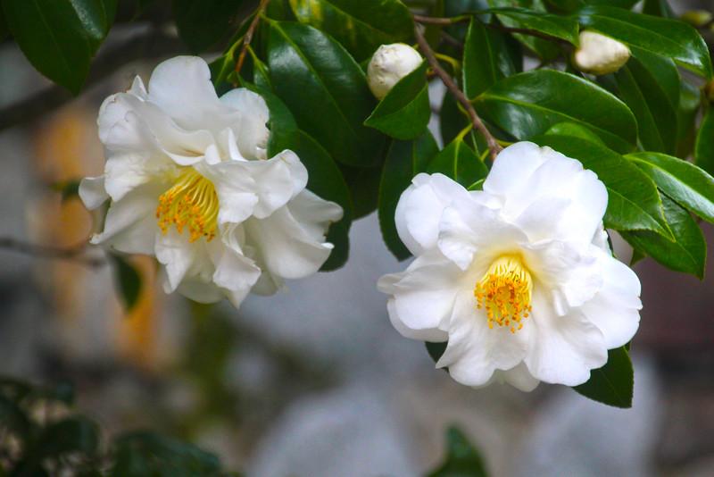 Hommaru Palace Camellia Tree