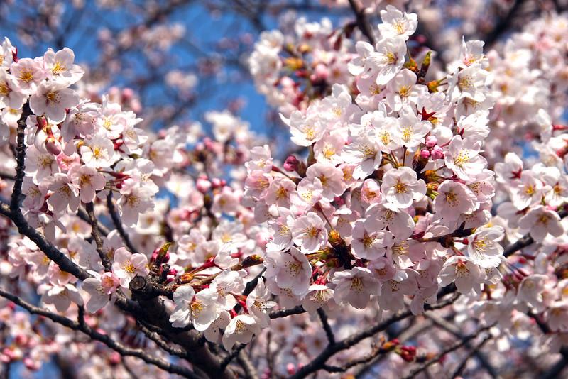 Sakura, the Blossoming Cherry Tree, Nagoya