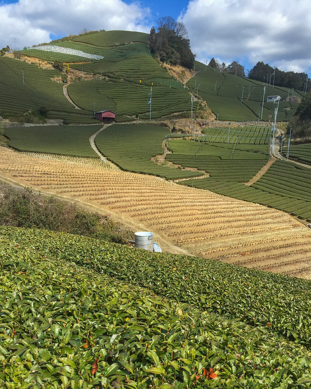 Wazuka tea fields, Japan