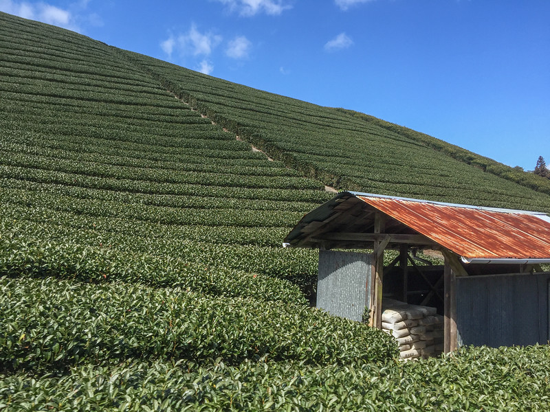Green tea fields in Wazuka, Uji Japan