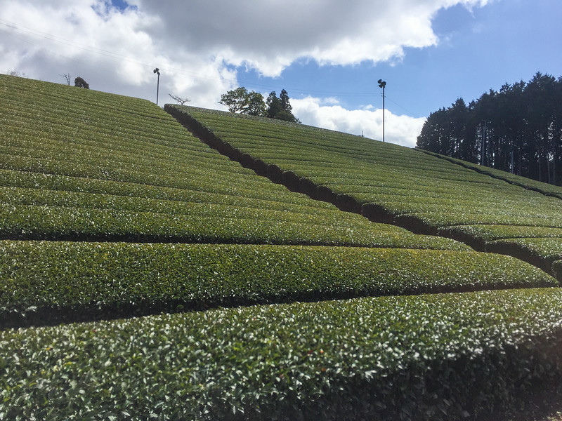 Japanese tea farm tour in Wazuka, Japan