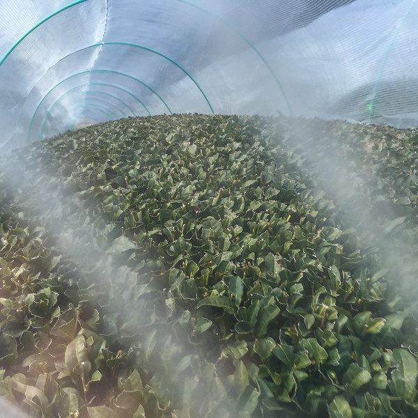 Tea greenhouse on the hills of Wazuka, Japan