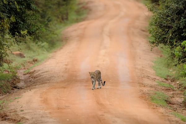 This three-year old cub casually walked towards us on Yala's main road.