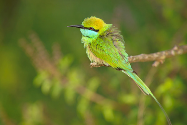 Yala is full of exotic birds which, unlike leopards, can be reliably and quite easily seen.  This is a green bee-eater.