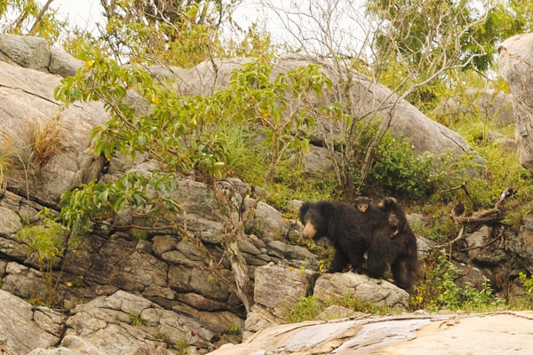 Two four-week old sloth bear cubs riding on their mother's back.
