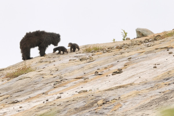 Sloth bear with two four-week old cubs.