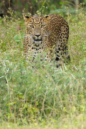 The leopards in Sri Lanka are members of a subspecies endemic to the country, and are larger than leopards found elsewhere.