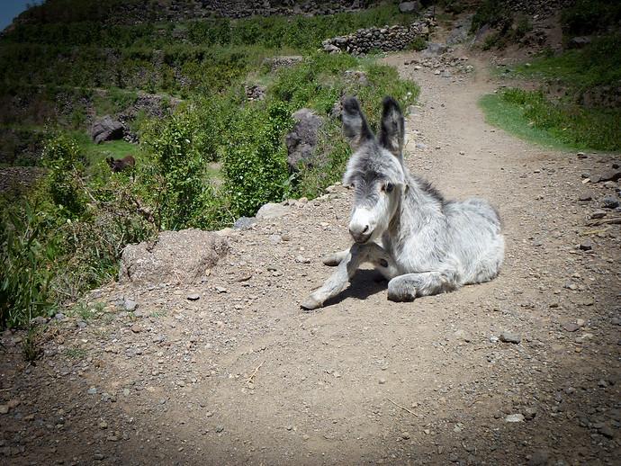 baby white donkey