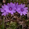 Yn 5001 Primula nanobella