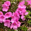 Yn 4984 Diapensia purpurea