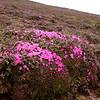 Yn 4982 Diapensia purpurea op Shika Shan