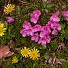 Yn 4983 Diapensia purpurea +  Oxygraphis glacialis