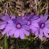 Yn 5002 Primula nanobella