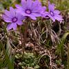 Yn 4998 Primula nanobella