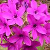 Yn 4996 Primula chionantha sinopurpurea