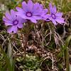 Yn 4997 Primula nanobella