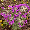Yn 4991 Primula chionantha sinopurpurea