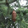 Yn 0661 Picea likiangensis