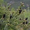 Yn 2262 Picea likiangensis