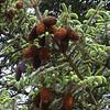 Yn 0158 Picea likiangensis