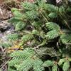 Yn 0159 Picea likiangensis