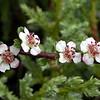 Yn 2226 Cotoneaster spec