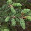 Yn 0662 Picea likiangensis