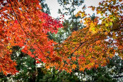 Red Leaf Season - Kyoto