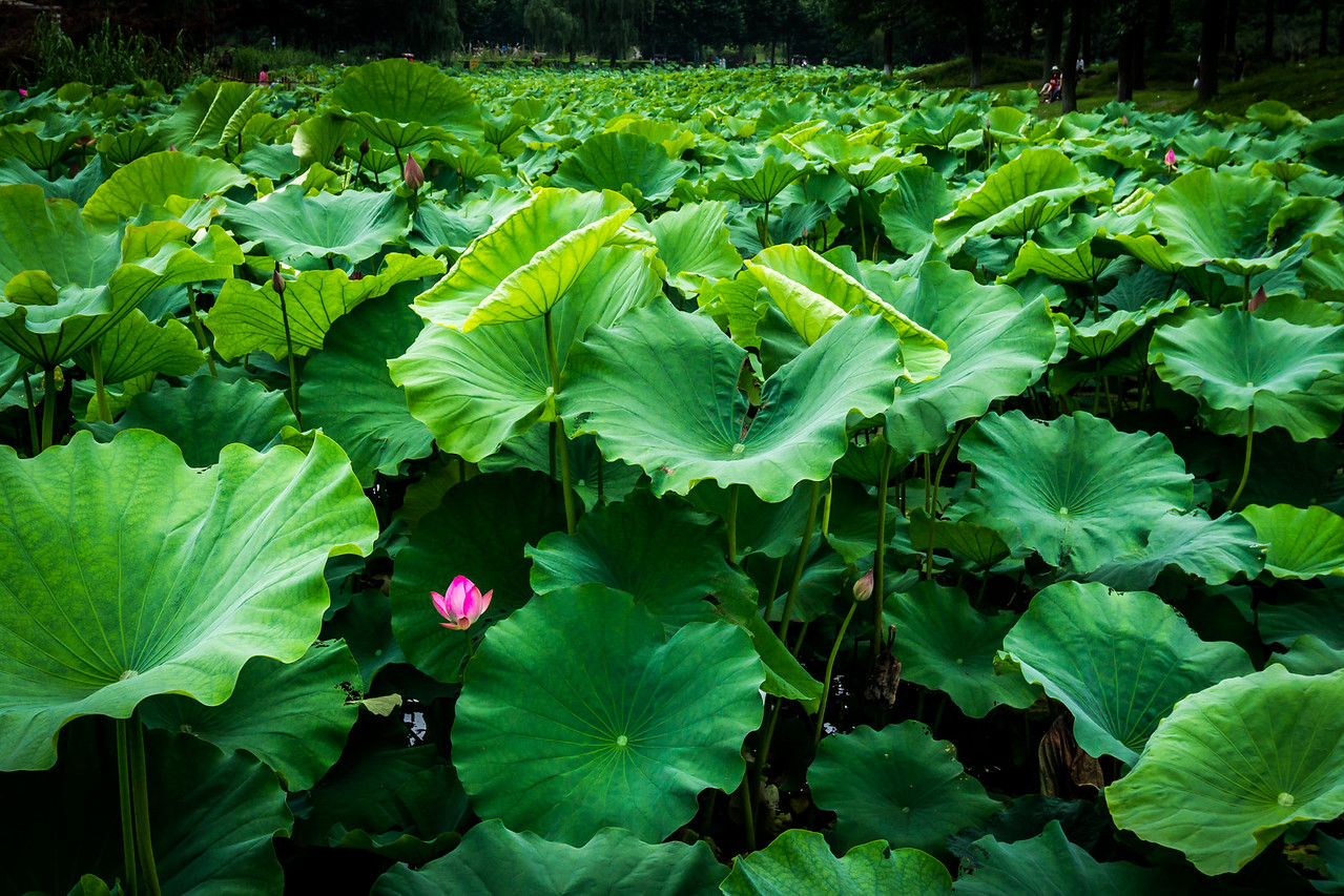 Lotus Pond at Century Park in Shanghai