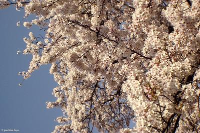 Japanese Sakura - 5