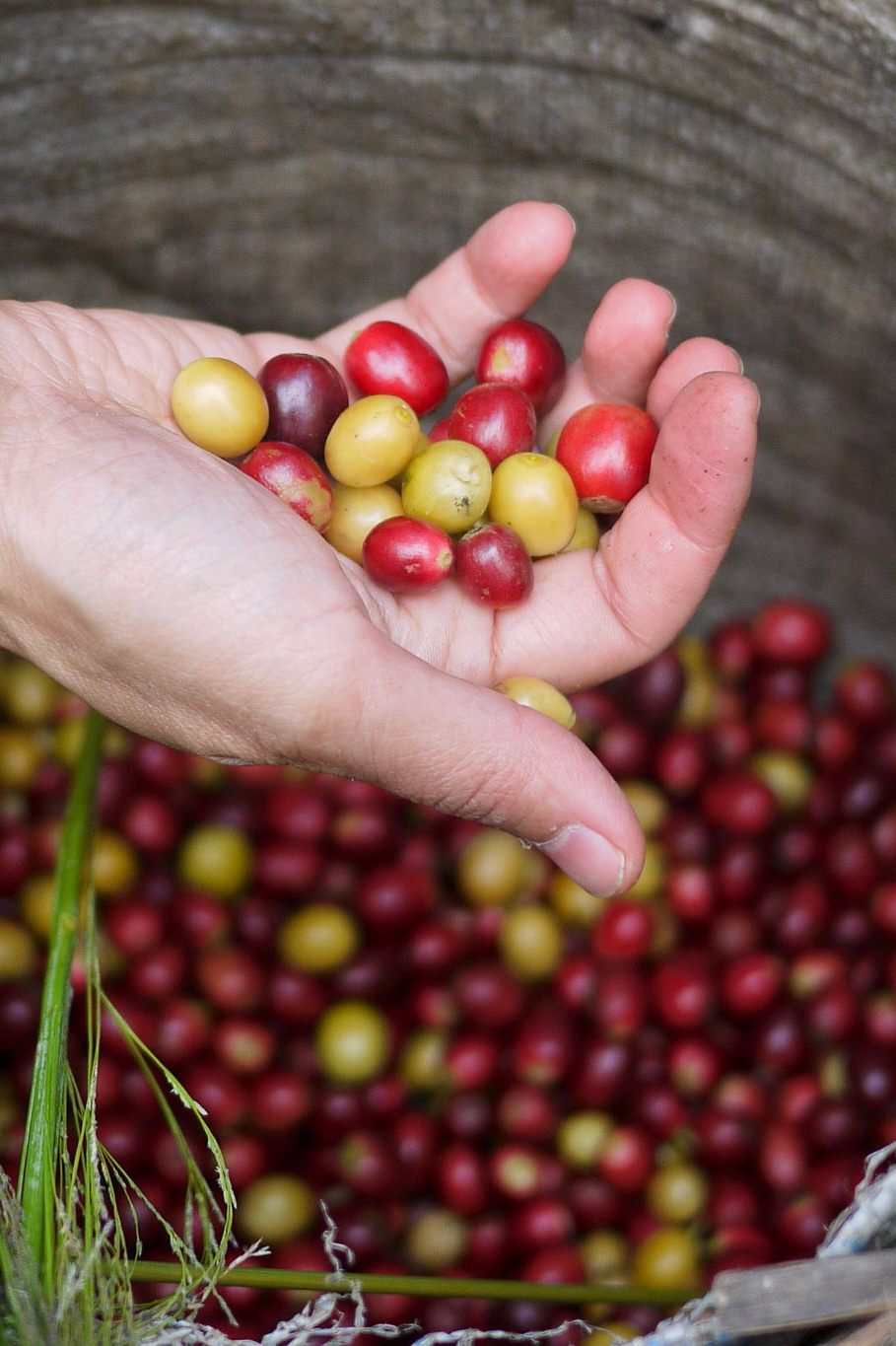 A basket full of ripe coffee cherries, Akha Ama coffee village near Chiang Mai, Thailand.