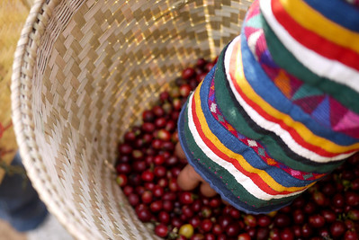A basket full of coffee cherries from the Akha Ama coffee village near Chiang Mai, Thailand.