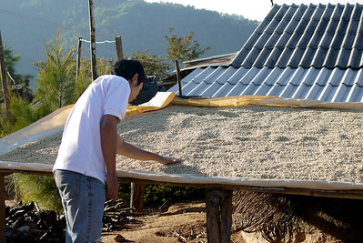 Drying coffee at the Akha Ama coffee village near Chiang Mai, Thailand.