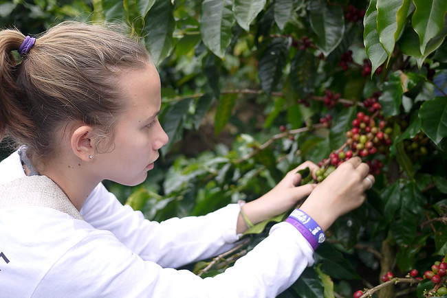 Ana carefully picks the ripe coffee cherries and adds them to her basket.