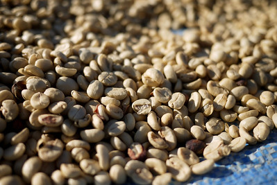Coffee beans drying in the sunlight at the Akha Ama coffee village near Chiang Mai, Thailand.