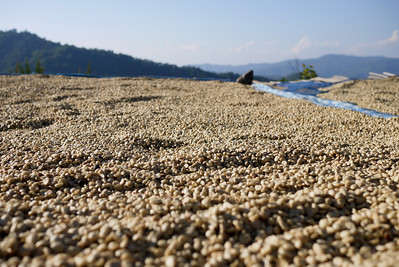 Mountain-grown coffee beans laid out to dry, Akha Ama coffee village near Chiang Mai, Thailand.