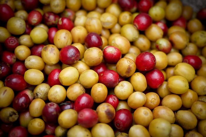 Ripe red and yellow coffee cherries.