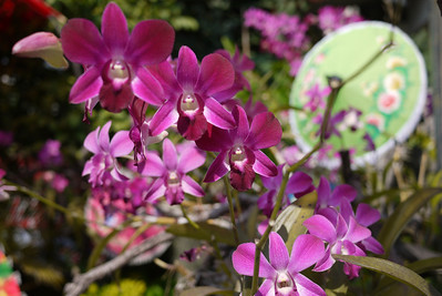 Orchids, Bo Sang Umbrella Festival, Chiang Mai, Thailand