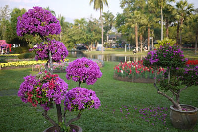 Groomed bougainvillea at the Chiang Mai Flower Festival, Thailand