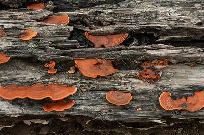 mushrooms,paddestoelen,champignons,Selluk,Arunachal Pradesh,India,Indië,l'Inde